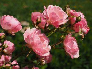 Die Rosen im Garten brauchen immer wieder einen guten Rosenschnitt