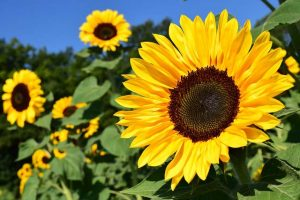 Sonnenblumen sind wunderschöne Sommerblumen